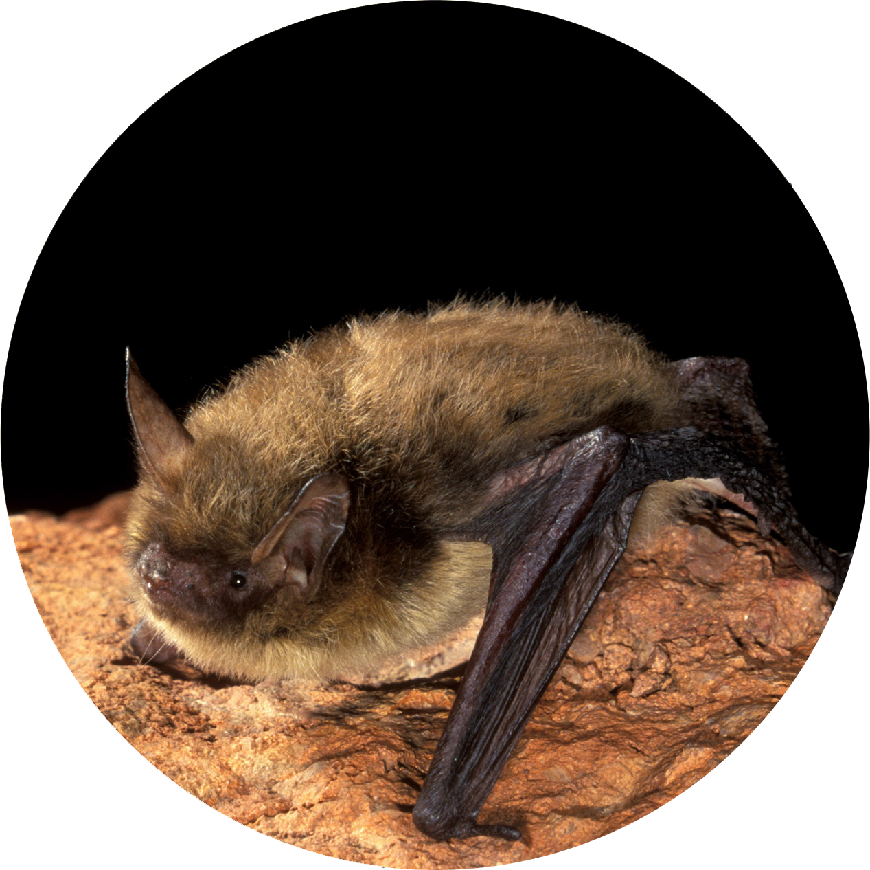 Photo courtesy of Bat Conservational International.