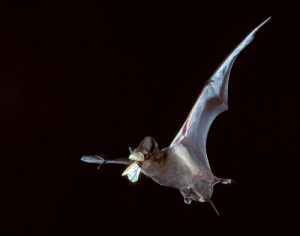 bat-catching-insect