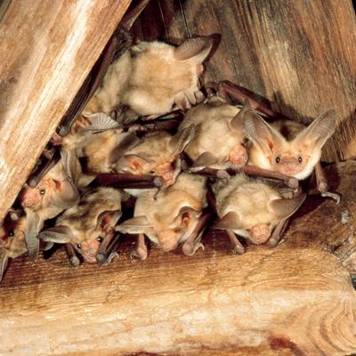 bats-in-roof