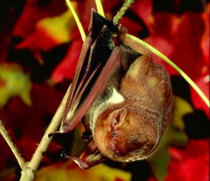eastern-red-bat