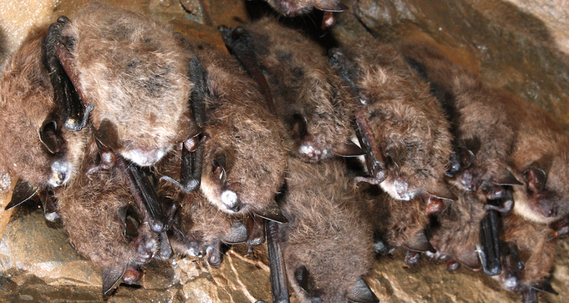 multiple-bats-with-white-nosed-syndrome